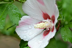 DSC_0039 (mettlog) Tags: flower macro dew fiore acqua rugiada goccie
