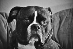 DSC_0110 (JablesPhotos) Tags: dog bulldog bulldogge bully olde english oeb cute puppy monochrome black white bw