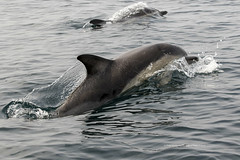 Dolphins (The Original Happy Snapper) Tags: delphinus chordata cetacea dolphins commondolphin outside sea water swimming ripples nature summer light outdoor cetacean animal mammal dolphin