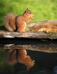 Red Squirrel (forbesimages) Tags: red squirrel fife wild scotland scottish water reflection canon