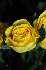 DSC_5595 (PeaTJay) Tags: nikond300s sigma reading lowerearley berkshire macro micro closeups gardens outdoors nature flora fauna plants flowers rose roses rosebuds