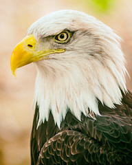 You Were Trying to Break Into Another World (Thomas Hawk) Tags: america americanbaldeagle grantsfarm missouri stlouis usa unitedstates unitedstatesofamerica baldeagle bird eagle us fav10
