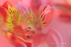 Sweet Dreams (Kay Kochenderfer Photography) Tags: red