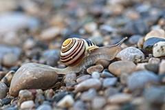 running away (Xtraphoto) Tags: bokeh snail schnecke running kies kiesel stein steine stone stones macro makro
