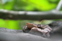 Newcomer - Northern Copperhead (Agkistrodon c. mokasen) (aaronsemasko) Tags: northern copperhead neonate newborn pennsylvania situ snake