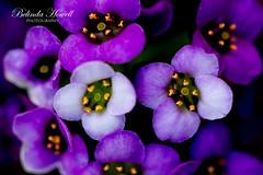 Dad's garden (Belinda Howell Photography) Tags: macro purple closeup garden petal