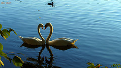 I Love You Too (Eddy Allart) Tags: water lake swan swans cisnes zwanen amor amour lago reflection reflejos weerspiegeling vogels dutch nederland romantic
