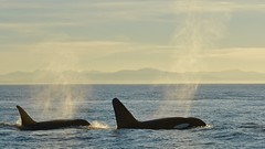 Bigg's Killer Whales off Vancouver (timnutt) Tags: whales orca ocean sea animals sky spray blow