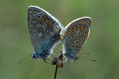 Himmelblauer Bluling Kopula (planetvielfalt) Tags: lepidoptera lycaenidae lycaeninae polyommatini sachsenanhalt deutschland
