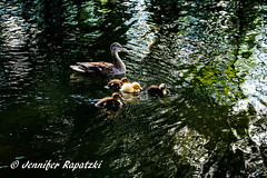 Duckling (Bernsteindrache7) Tags: summer spring sony alpha color landscape outdoor park animal pet water wasser family 100