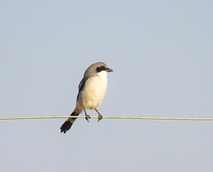 Bird On A Wire (Atascaderocoachsam) Tags: