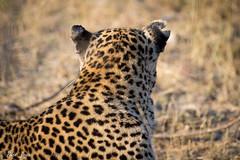 DT-144 (Photography by Brian Lauer) Tags: africa botswana safari safaris wildlife travel nikonphotography nikon lion elephant hippo fisheagle saddlebilledstork piedkingfisher lilacbreastedroller wilddog