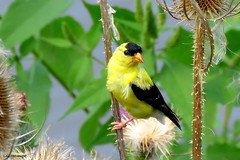 American Goldfinch - Male (Lois McNaught) Tags: americangoldfinchmale finch goldfinch bird avian nature wildlife outdoor summer hamilton ontario canada