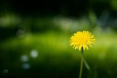 Lonesome dandelion (DuderinoHamburg) Tags: blume dandelion lwenzahn yellow gelb sommer
