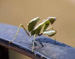 Jimmy (Karolina Jantas) Tags: cricket bug green big eyes nature insect benitatxell spain