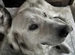 Wei se ha colado en casa y con su mirada de pena me pide permiso para quedarse.. (sukiweb) Tags: wordpress dog perro weis