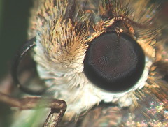 Moth Faceted Compound Eye, Proboscis-Tongue and Front Leg Super Macro DSCF2241 (Ted_Roger_Karson) Tags: fujifilmxs1 handheldcamera raynoxdcr150 goldenrodflowers supermacro supermacrolens