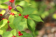 Red amur honeysuckle (seventh_sense) Tags: outdoor outdoors nature natural wilderness wildlife red amur honeysuckle berry berries leaf leaves autumn fall