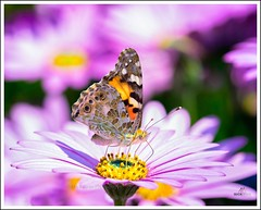 Painted Lady (Mick Ryan Photography) Tags: butterfly paintedlady ness gardens nessgardens rha