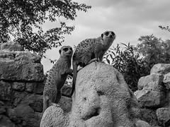 Meerkats-proud sponsor of Coronation Street (EiaOlaf) Tags: meerkats meerkat suricato suricate sentinel canon lightroom wild zoo zoom torino turin animal watch black white viveza sharpener silver