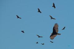 0903 IMG_9822 (JRmanNn) Tags: vulture lakemead flying midflight morning updraft thermals