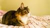 Mikko (4) (grahamrobb888) Tags: nikond800 sigma20mmf18 cat pet indoors mikko resting bed