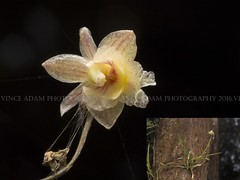 Desktop79-Orchid 4..almost dying but I see beauty in this flower (Vince_Adam Photography) Tags: borneo wildorchids orchid orkid sabah montaneforest highlands bunga flower white orchidaceae wildorchid beautifulflower orkidliar malaysia wildflowers mossyforest rainforest flora exotic exoticflowers unique wild macro macroflower wildflowersofsabah wildflowersofmalaysia wildflowersofmalaysianrainforest okid bungaokid okidliar