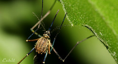 !! (Ezhil Ramalingam) Tags: mosquito macro home garden canonmpe65