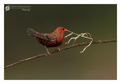 ~~ Red Munia ~~ (Deepak Prabhakaran) Tags: 2016 august munia ooty red bird perched nilgris tamilnadu south india nature wildlife birds canon eos gitzo gimbal