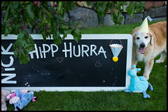 37/52 Hipp Hurra For Nick.  15 Years Old Today. (Eline Lyng) Tags: garden plumtree birthday dog pet animal canine golden retriever goldenretriever hipphurra nick leica leicam240p m240 50mm summilux50mmf14asph 52weeksfordogs littledoglaughedstories