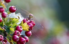 Dragonfly & Berries (amandahaxby) Tags: dragonfly cobweb berries insect nature yorkshire