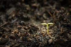 Faith (sampost) Tags: faith seed plant macro sundayschool primarysongs dustycamera