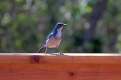 IMG_6322 (armadil) Tags: backyard bird birds jay jays scrubjay scrubjays