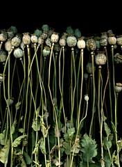 57692.01 Papaver somniferum (horticultural art) Tags: horticulturalart papaversomniferum poppy opiumpoppy seedpods line