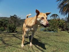 Apolo (DCalgaro) Tags: mixbreed dog viralata apolo srd semraadefinida