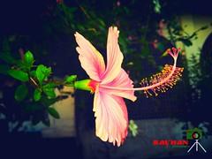 Red hibiscus (Rayhan Ahamd) Tags: bangladeshi