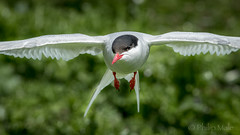 ... Eye to eye ... (Grandpops Woodlice) Tags: arctictern northumberland innerfarne thefarneislands flight