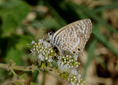 Lang's Short-tailed Blue---- Leptotes pirithous (creaturesnapper) Tags: tarifa lepidoptera butterflies spain europe insects lycaenidae langsshorttailedblue leptotespirithous