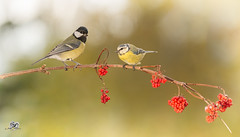 relatives (Geert Weggen) Tags: nature animal perennial closeup cute plant moss funny happy bright light branch seed yellow bird tit titmouse berries sweden geert weggen jmtland ragunda