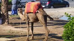 P1130293 (Tipfinder) Tags: africa garden ben market jardin berber atlas marocco majorelle souk medina afrika marrakesh marokko koutoubia gebirge palmen marrakesch yvessaintlaurent medersa moschee djemaaelfna youssouf pierreberg