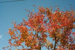 Red leaves (kugikugi) Tags: