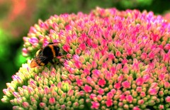 Ice and bee (Tony Shertila) Tags: dahlia flowers red england orange colour garden insect flora europe britain petal bee iceplant stamen sedum hdr warwickshire stonecrop floret baddelseyclinton