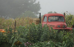 The Farmers Truck (janetfo747) Tags: usa ford fog truck garden pumpkin day farm pickup farmer hay halfmoonbay calfiornia