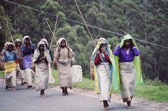Sri Lankan Tea Pickers (Pix by Anthony) Tags: tea srilanka ceylon teapicking teapickers