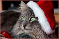 Cat with Hat (FocusPocus Photography) Tags: santa christmas portrait hat cat weihnachten navidad feline chat kitty noel portrt gato katze kater mtze fynn longhaired langhaarkatze fynnegan