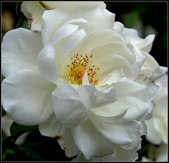 """La fleur du ... """"pardon"""" ....une des dernières de la saison (photosylvia / silabox) Tags: flowers white macro blanco rose fleurs flor quintaflower blanche mfcc"""