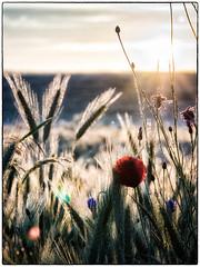 Poppy (warmianaturalnie) Tags: flowers flower nature field sunrise poland poppy warmia