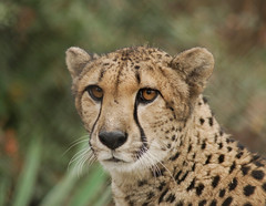 Female Cheetah. (palmerb16) Tags: flickrbigcats