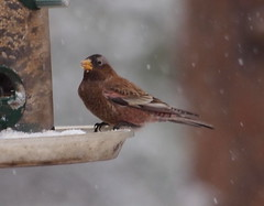 Gray-crowned Rosy-Finch (Evergreen Audubon) Tags: birdfeeder