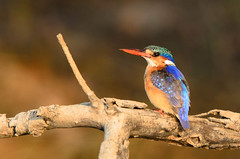 """Malachite Kingfisher, Zambia • <a style=""""font-size:0.8em;"""" href=""""https://www.flickr.com/photos/21540187@N07/8293294997/"""" target=""""_blank"""">View on Flickr</a>"""